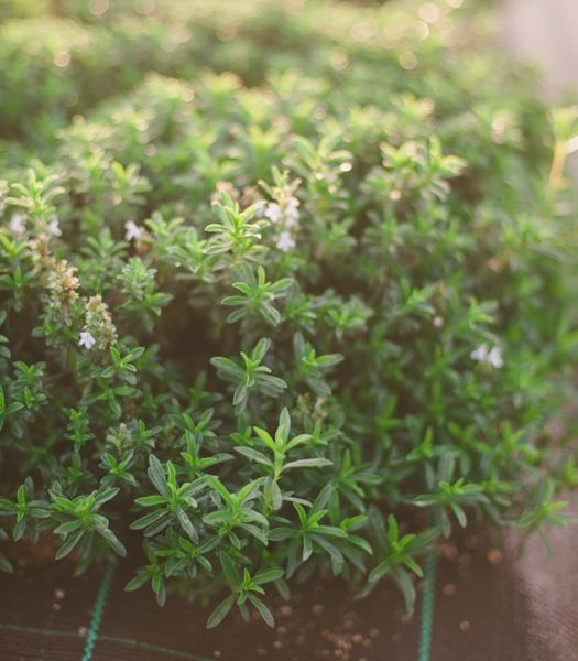 Segurelha - Satureja montana, de Produção Biológica