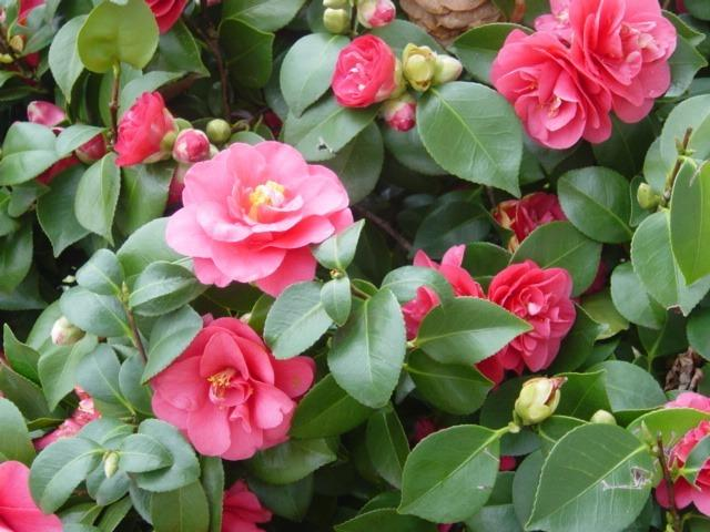 Sementes de Camélia Rosa