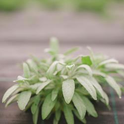 Salva - Salvia officinalis, Produção Biológica .