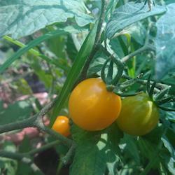 Tomate cereja milflor