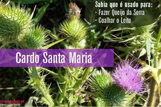 Cardo-de-Santa-Maria