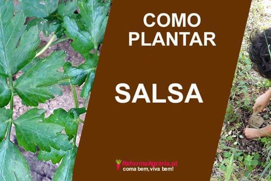 Como Plantar e Cuidar da Salsa