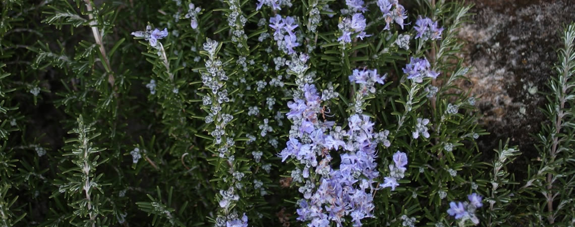 Sabão aromatizado com Alecrim - folhas e flores.