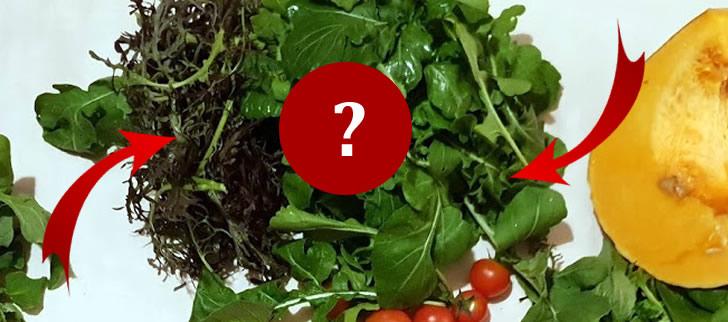 As folhas bio, para salada, da Costa da Marinha: são duas variedades de rúcula