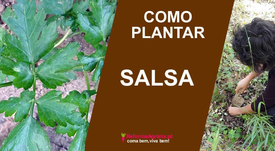 como plantar salsa
