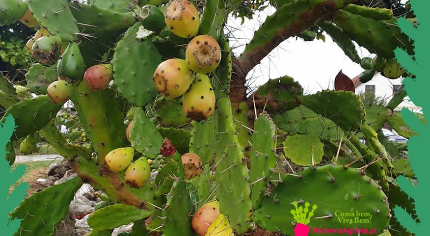 Como colher os figos-da-índia| Reforma Agrária