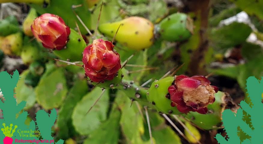Flor de Figo-da-Índia| Reforma Agrária