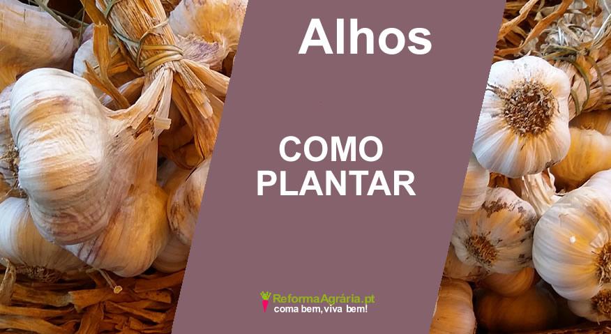 como plantar alhos| Reforma Agrária