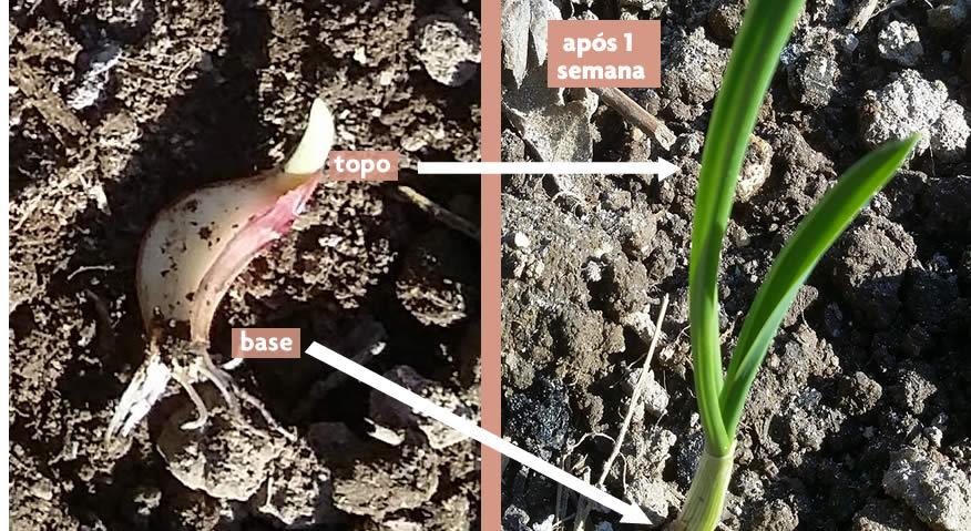 como plantar dentes de alho| Reforma Agrária