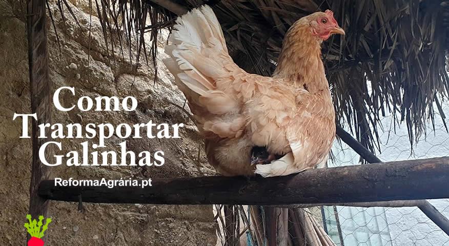 Como transportar Galinhas e Pintos | Reforma Agrária