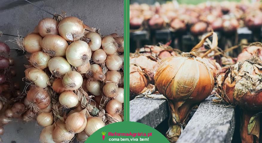 cambos de cebolas, como armazenar as cebolas após a colheita  Reforma Agrária