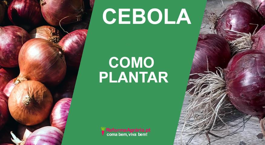 como plantar cebola  Reforma Agrária