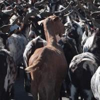 Carne de caprinos