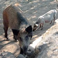Carne de suínos