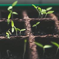 Alecrim planta viva