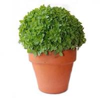 Mangerico planta viva