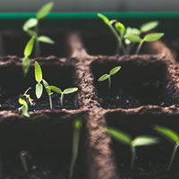 Stevia planta viva