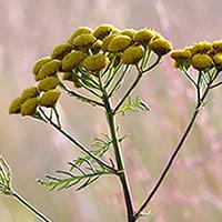 Tanaceto planta viva