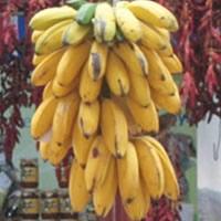 Bananas planta viva