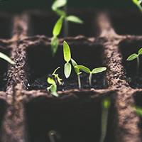 Maçãs planta viva