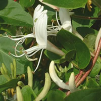 Madressilvas planta viva