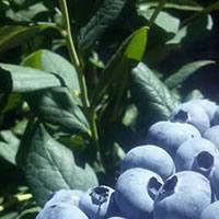 Mirtilos planta viva