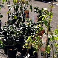 Nêsperas planta viva