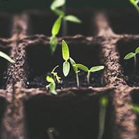 Alhos planta viva