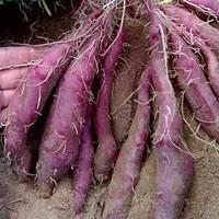 Batatas doces novas