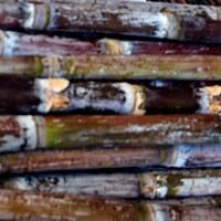 Cana-de-açucar planta viva
