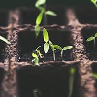Feijão-verde planta viva