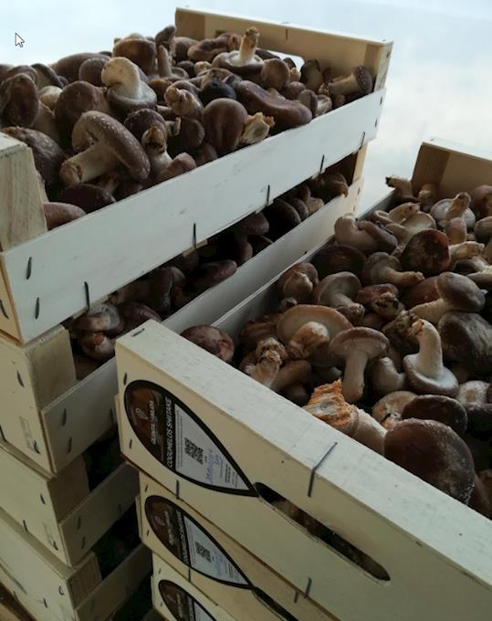Cogumelos Shitake a Granel | Mínimo 5Kg