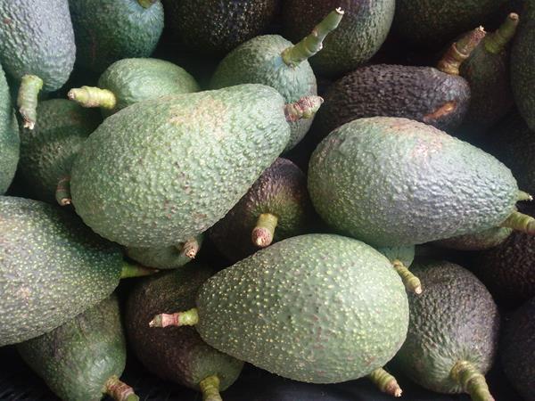 Abacates (sem tratamentos)
