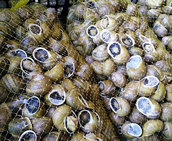 Caracóis (caracoletas) Vivos de categoria 2