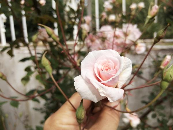 12 Rosas de Santa Teresa