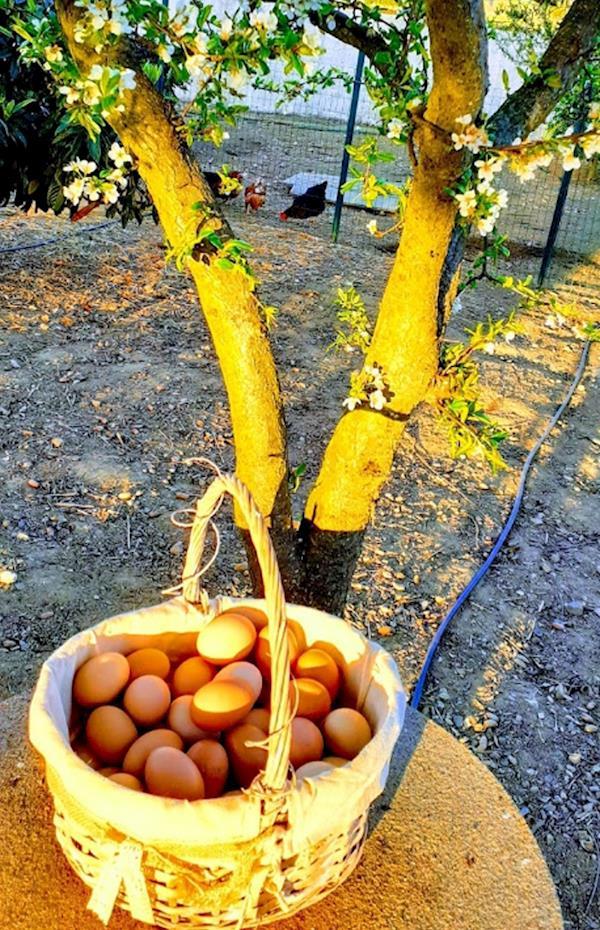 Ovos de galinha do campo - 12 ovos