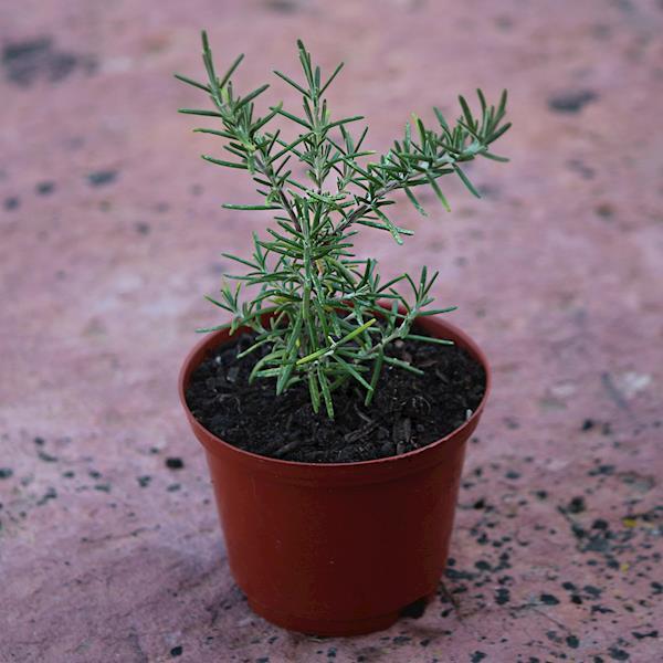 Alecrim rasteiro (Rosmarinus officinalis Prostatus)