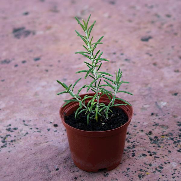 Alecrim flor branca (Rosmarinus officinalis 'Albiflorus