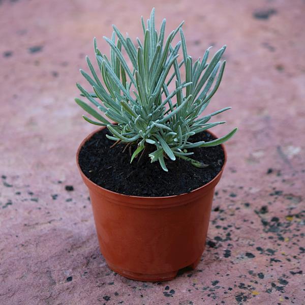 Alfazema angustifolia (Lavandula angustifolia)