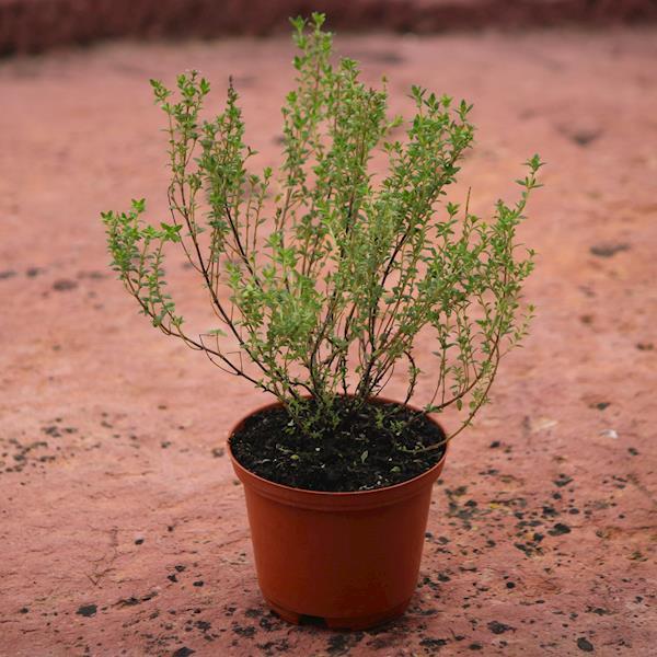 Tomilho Limão (Thymus citriodorus)