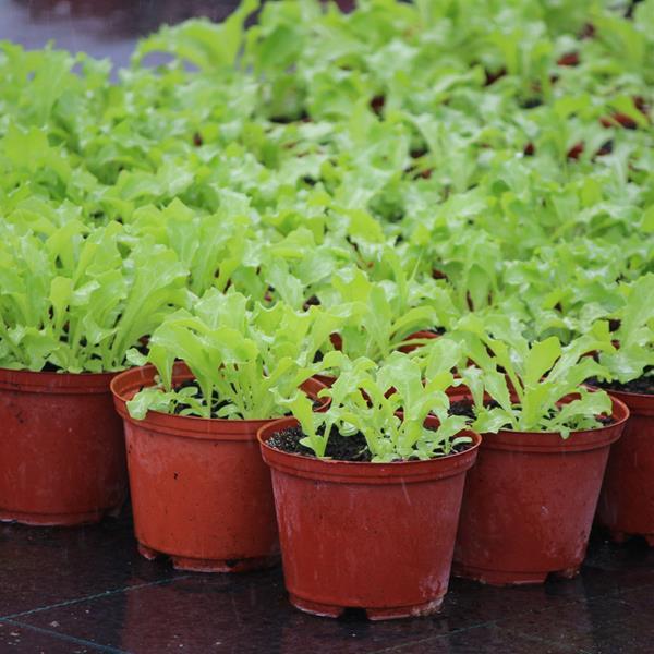 Chicória (Cichorium pumilum)