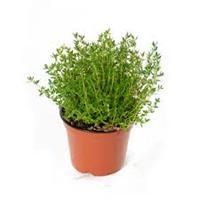 Tomilho - thymus vulgaris, em vaso