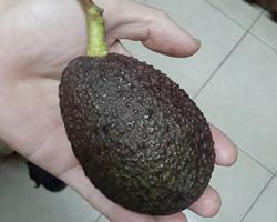 Abacate fresco