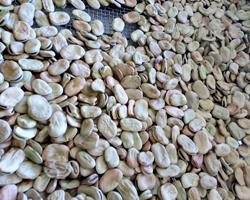 Fava para semente