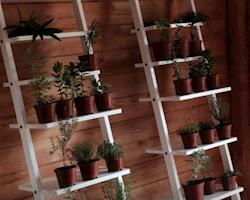 Tomilho Bela Luz Bio, Planta em Vaso