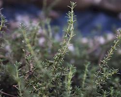 Tomilho Laranja Bio, Planta em Vaso
