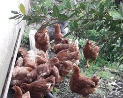 galinhas do campo para carne/canja