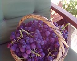 Uvas de mesa, variedade Cardinal