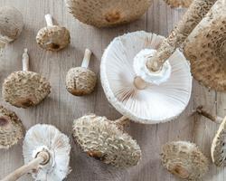 Cogumelo Frade / Guarda sol - Macrolepiota procera