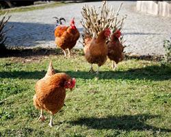 Ovos de galinha (1/2 dúzia)